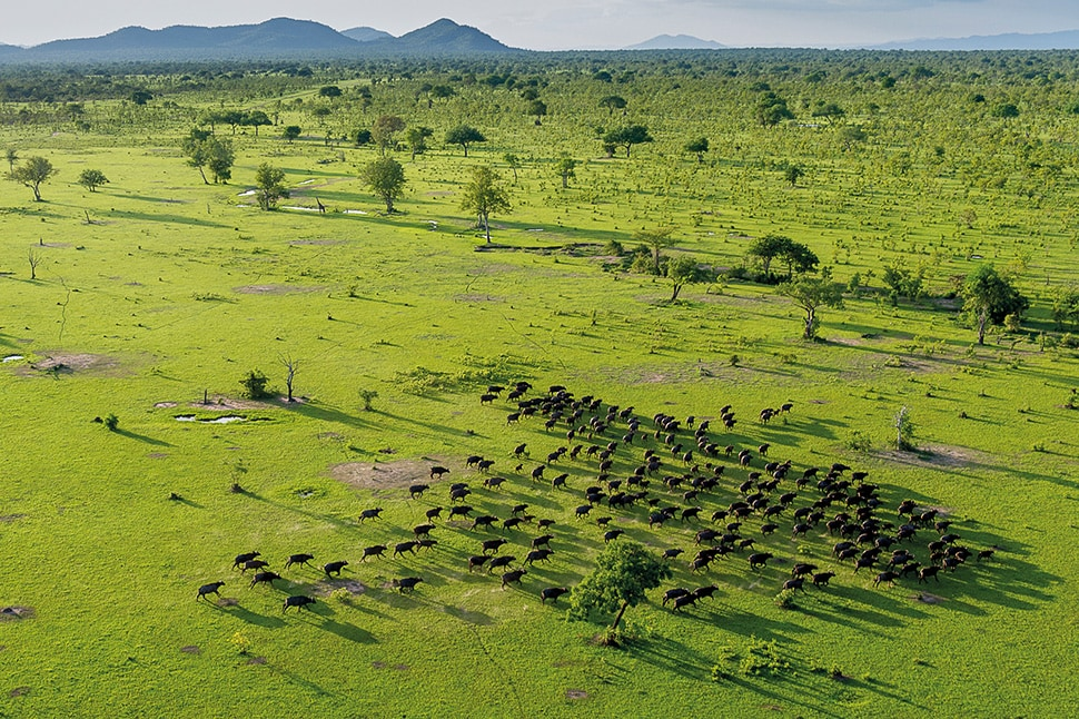 Safari in South Tanzania at the spectacular Jabali Ridge lodge Selous buffalo from the air RR