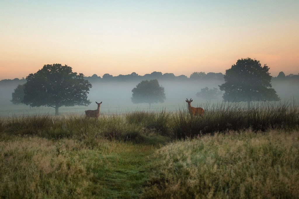 Two deer in Richmond Park