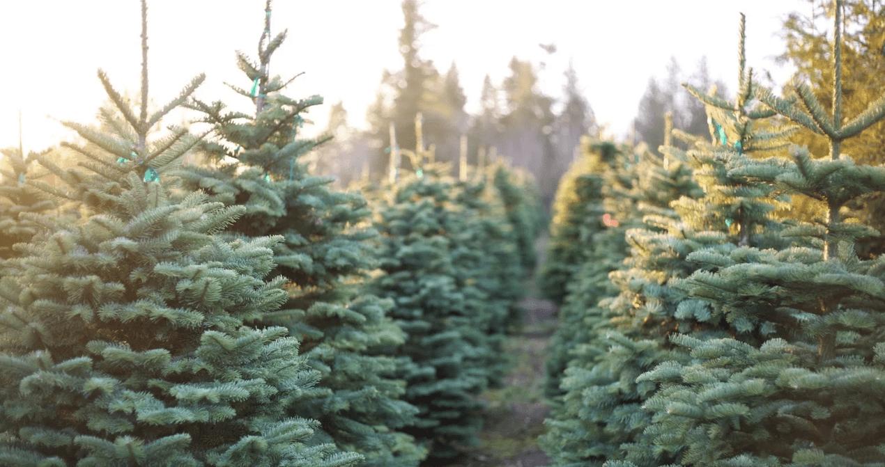 On Cloud Pine Christmas Tree